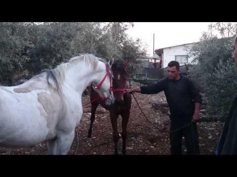 صلاة النبي الحصان الطهور نور لهيب وابنته غزل   (بتصوير sami abufarha)