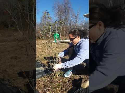 Goji Berry Pruning For Beginners Youtube