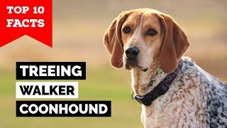 Treeing Walker Coonhound  Top 10 Facts