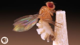 This Killer Fungus Turns Flies into Zombies | Deep Look