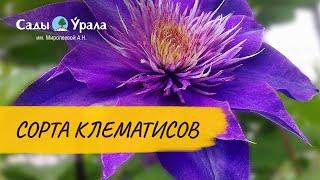 видео Секреты выращивания клематисов