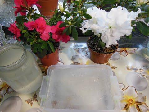 Вопрос: Можно ли цветы поливать компотом Можно вылить в цветок остатки компота?
