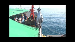 Slaughtering and filleting bluefin tuna caught in Libyan waters