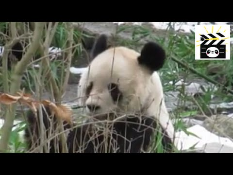 Panda in Vienna: meal time for Vienna Zoo