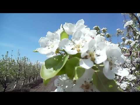 Катюша - Расцветали яблони и груши. В.Доценко, баян