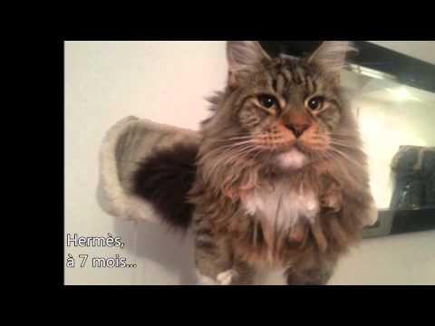 IKEM chaton Maine Coon de 1 mois à 3 mois 30 mars 2014 Stef FERRY