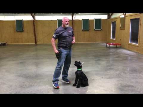 Kelvin Giant Schnauzer Puppy Early Obedience Training & Development