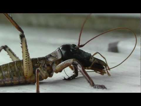 Cat vs Weta - New Zealand Dec 2012
