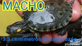 Diferencias tortuga macho y hembra  trachemys callirostris bebes desde 3.5 centímetros de caparazón