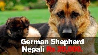 German shepherd baby puppy playing with mother | Funny dog | Nepali German Shepherd