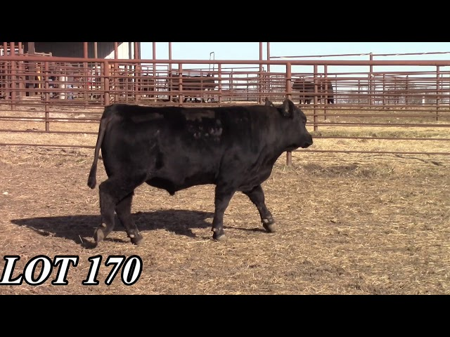 Mead Angus Farms Lot 170
