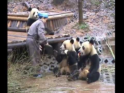 Panda bite - photo#39