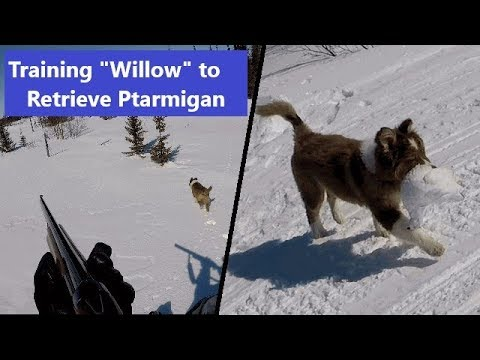 Training 'Willow' to retrieve ptarmigan (15 week-old Australian Shepherd