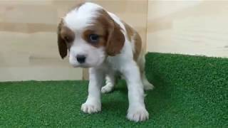 https://www.breeder-navi.jp/dog/68262 子犬販売ならブリーダーナビ ...