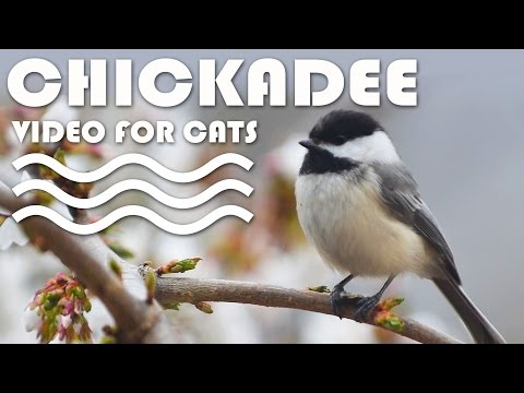 ENTERTAINMENT VIDEO FOR CATS. Birds for Cats to Watch. Black-Capped Chickadee.