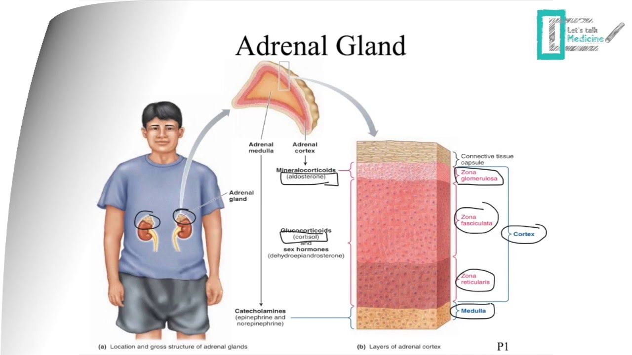 Adrenal Physiology Youtube