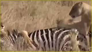 シマウマ対致命的なライオンの攻撃 World Planet RF.