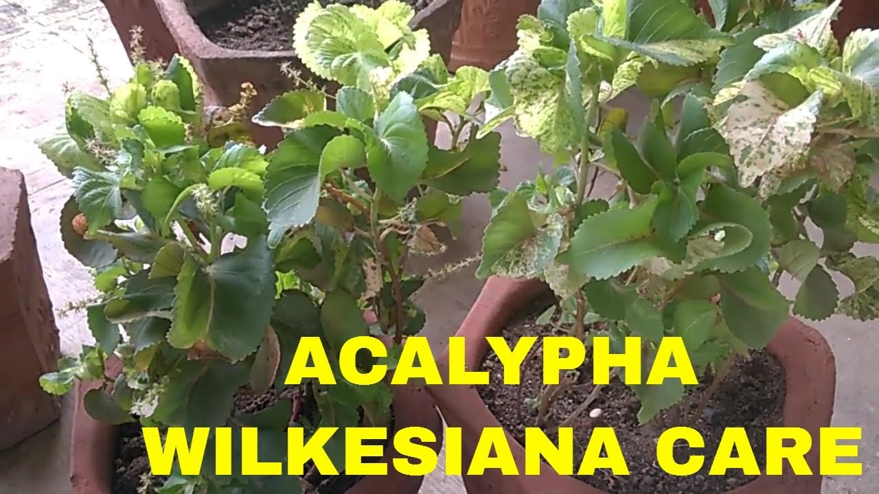 Acalypha Wilkesiana Care And Tips Youtube