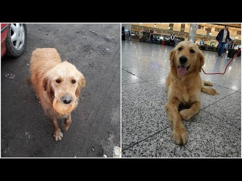 Golden Retriever Found On Streets of Turkey With Nothing But Bread Gets New Home