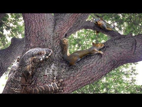 Lizard Climbs Tree—Eats Squirrel