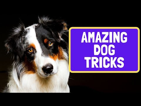 Awesome Dog Tricks by Terra the Australian Shepherd