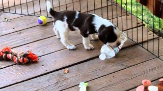 Field English Springer Spaniel Puppies - Hellfiregundogs.com