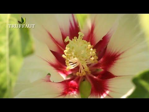 Comment planter un hibiscus syriacus jardinerie - Comment entretenir un hibiscus ...