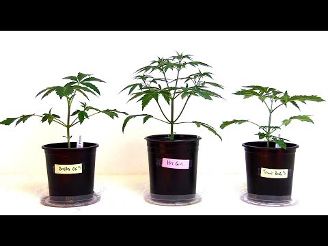 WEEKS 2-6 GROWING CANNABIS INDOORS! - PLANT TRAINING