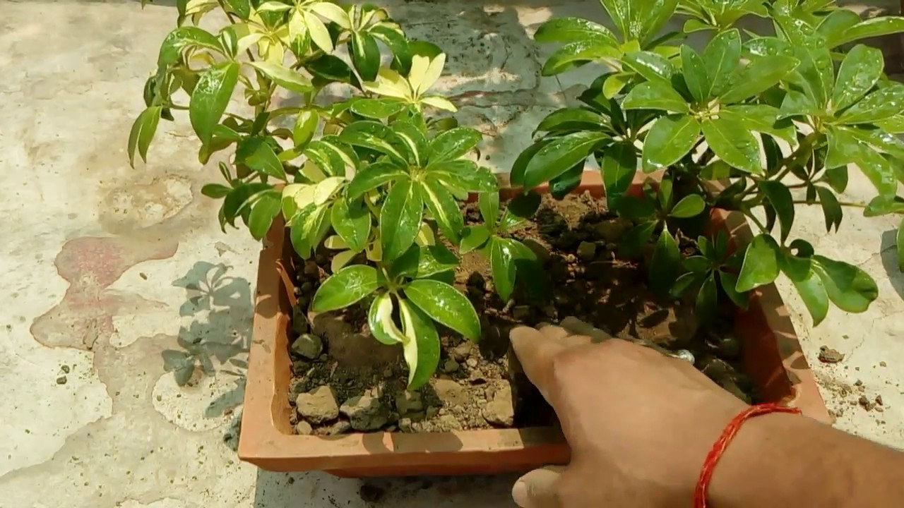 Schefflera Plant How To Grow And Care Budget Gardening Hindi