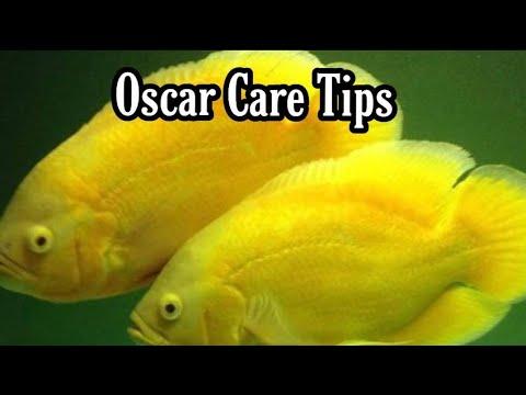 Oscar Fish Care & Maintenance Tips