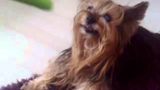 Yorkshire Terrier, 17 Years Old Yorkshire Terrier, Chanel Bridget