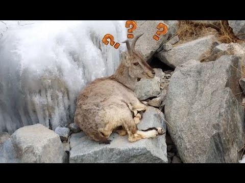 Hiker Encounters Nationally Protected Wild Blue Sheep in Northwest China's Qinghai