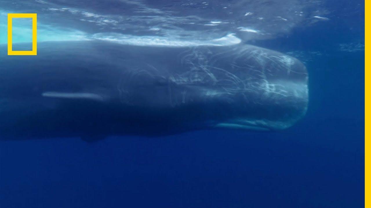 Le grand cachalot est le plus gros prédateur à dents au monde