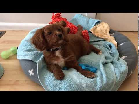 Alfie the straight haired Cavoodle as a puppy