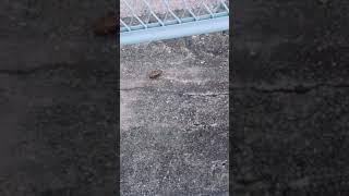 コンビニの行き道の坂で歩いてました。 初めて歩いてるの見て思わず動画...