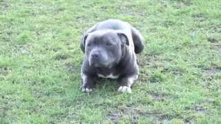 Blue Stud Dog Available ** Staffordshire Bull Terrier **  - 26 Champs !!