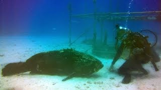 WORLD'S LAZIEST GOLIATH GROUPER