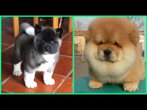 Top 10 razas de perros mas adorables de cachorros