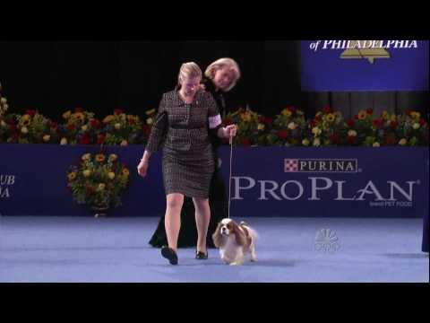Nat'l Dog Show-Cavalier King Charles Spaniel 11.26.09