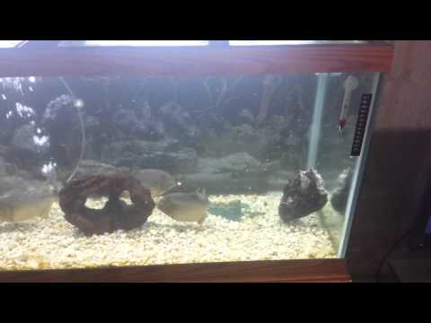 Short clip of my Piranhas eating a large fish