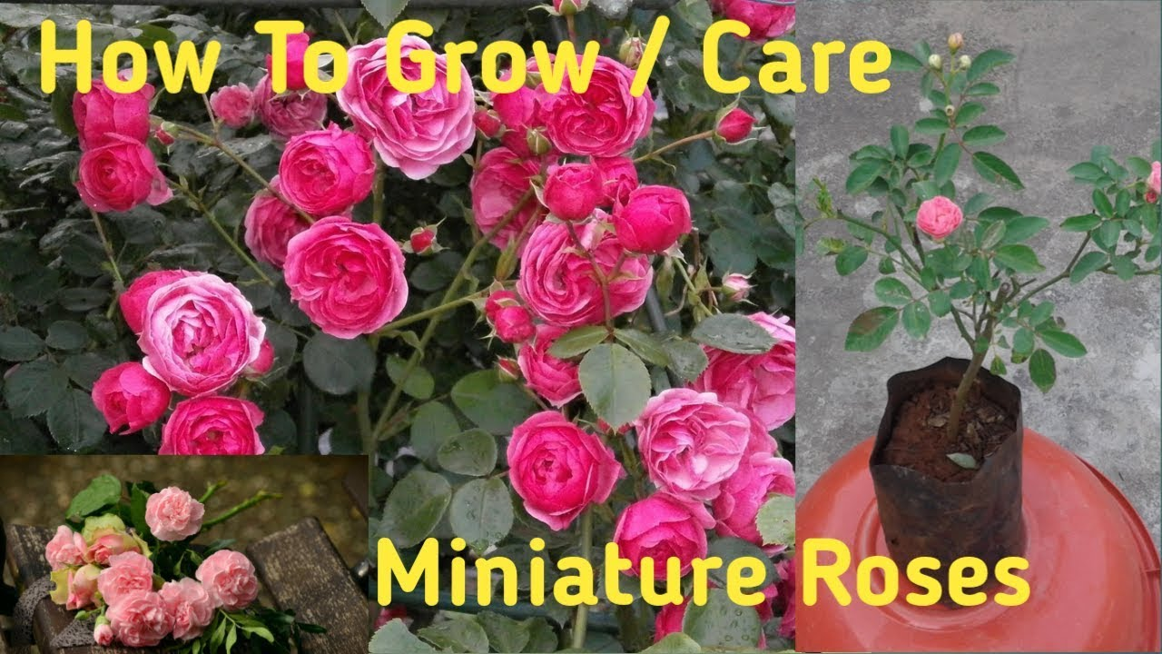 How to grow miniature roses in pots YouTube