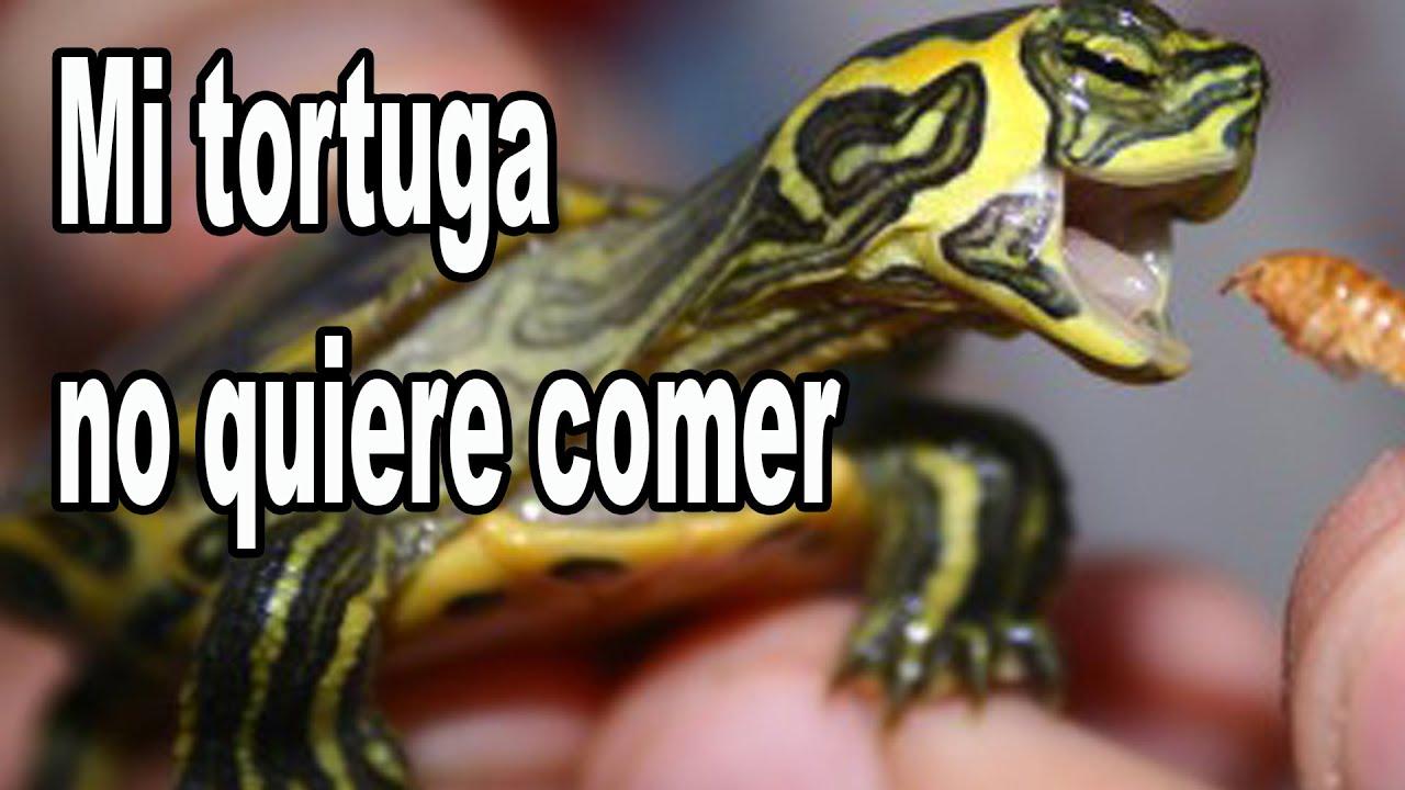 Por que mi tortuga no come y como hacer que vuelva a comer for Que hago hoy para comer