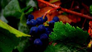San Francisco Bay Area Wine Harvest_ Around the Bay in Great Grapes.mp4