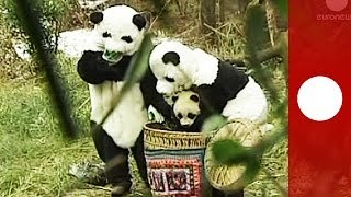 Bear necessities: in China reserve staff wear Panda suits to prepare cubs for life in the wild