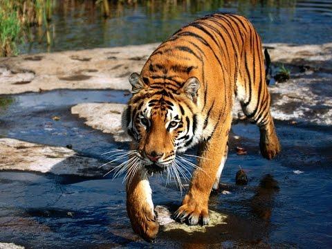 Дикая природа Самые опасные животные Азия  National Geographic Wild