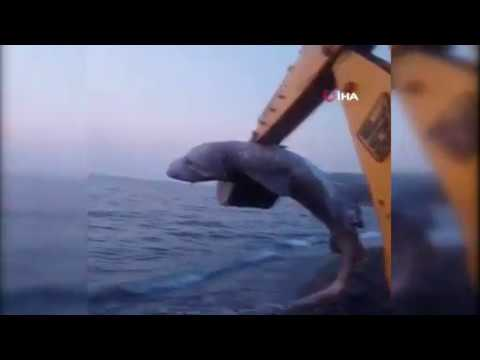Köpek balığı karaya vurdu