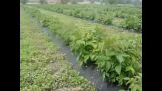 Малина Геракл(Наш сайт: http://agroplantex.com Вирощування малини сорту Геракл. Насадження 2012 року посадки. Продаж саджанців з закри..., 2014-05-05T14:10:41.000Z)