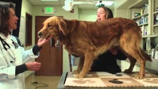 Golden Retriever Lifetime Study Psa - For Veterinarians (1min Sponsors)