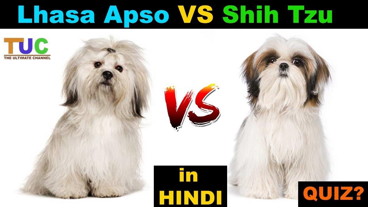 Lhasa Apso Vs Shih Tzu In Hindi Dog