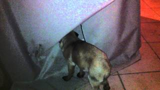 My Pug Showing Pde Symptoms - Video 2